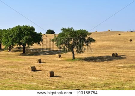 Stunning landscape with a harvested wheat field and rolled straw stacks between cork oak trees at sunset. Evora Portugal
