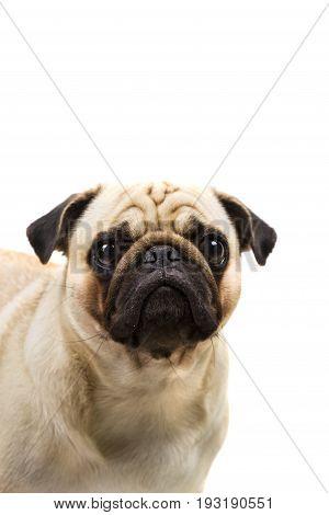 Pug Breed Dog