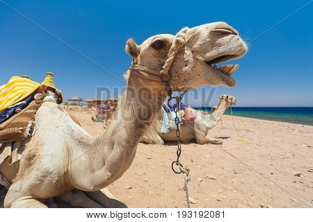 Egypt Dahab Camel on vacation. The mouth is open the teeth are visible. Bright sunny day