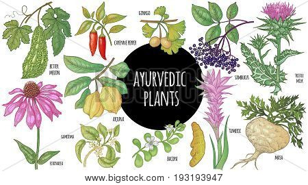 Medical plant color isolated on white background. Illustration of Ayurveda herbs. Vector set art. A poster with the image of medicinal herbs spices fruits roots leaves branches and flowers.