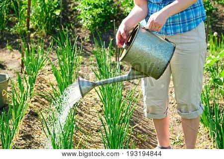 Woman gardener watering onion with watering can in garden.