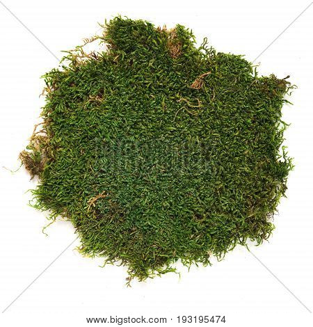 Moss - stabilized dry evergreen on a white background.