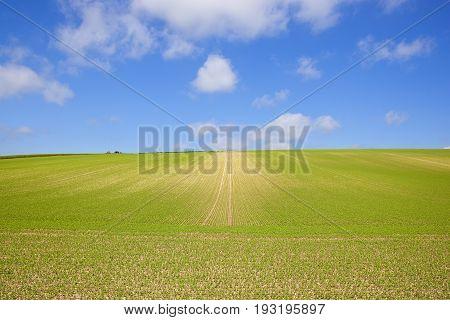 Extensive Pea Crop
