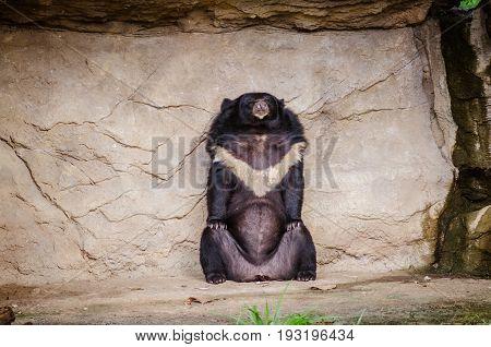Asian black bear (Ursus thibetanus) in Zoo
