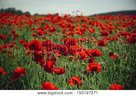 flower field of red poppy seed on green stem as background summer and spring drug and love intoxication opium