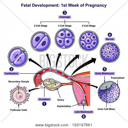Fetal Development First Week of Pregnancy infographic diagram of female reproductive system with all stages including ovulation fertilization cleavage morula blastocyst for medical science education