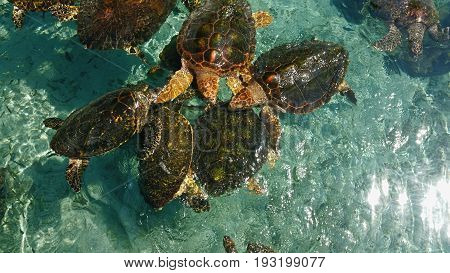 Endangered Hawksbill turtles swimming in crystalline waters