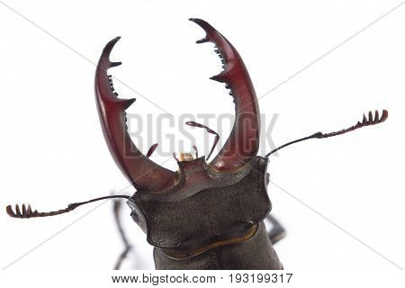 big Deer beetle on white background. Isolated
