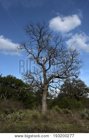 Leafless tree stands alone in a Florida pasture under winter blue sky and cloud puffs