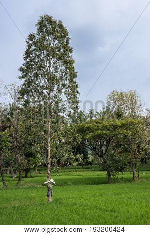 Mysore India - October 27 2013: bucolic green scenery of rice paddies and trees under blue cloudy sky with white and gray scarecrow bound on tree trunk in Harohalli hamlet.