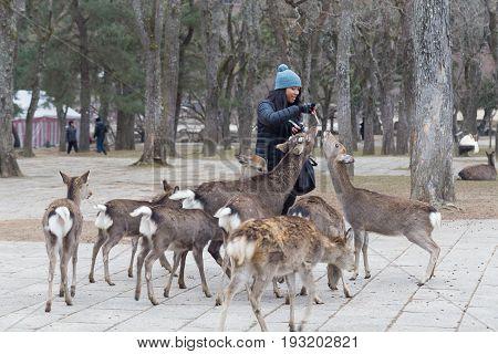 Nara, Japan - December 28, 2014: A woman feeding deer in a public park