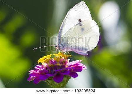 White Cabbage butterfly on pink zinnia flower macro photo. Pieris brassicae butterfly