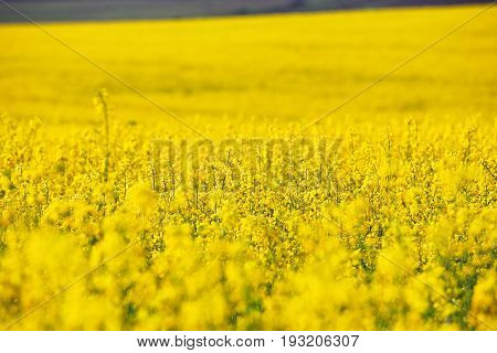 Spring colza fields. Blooming yellow summer flowers