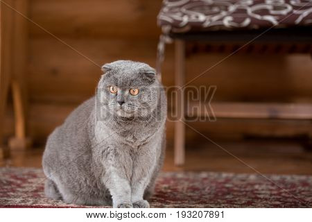 Serious and pensive Blue Scottish Fold cat sitting on a porch of a house and looking somewhere.