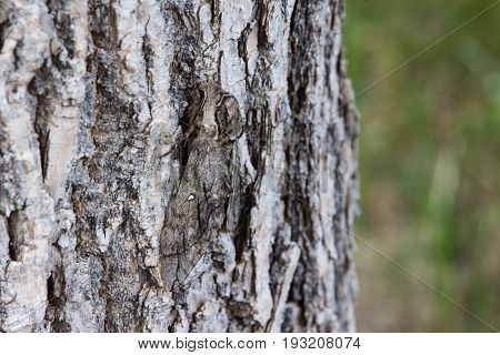 A well camouflaged waved sphinx moth (Ceratomia undulosa) clings to the bark of a tree, hiding in plain sight.