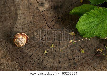 Snail creeps on the old rotten stump. Copy space. Helix pomatia common names the Burgundy snail Roman snail edible snail or escargot