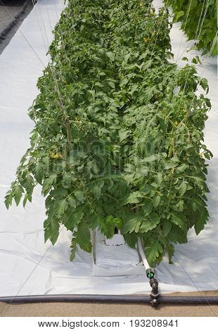 Hydroponic Cultivation of Tomato in Greenhouse