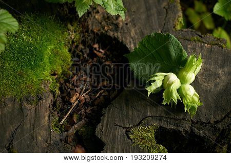 Close-up of a Raw hazelnuts on a green leaf placed on a wooden stump. Autumn harvest of nuts.