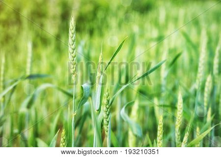 Wheat spikes are green in the field in summer or early spring with sunlight on a bright day. Spike of wheat close-up on a green background