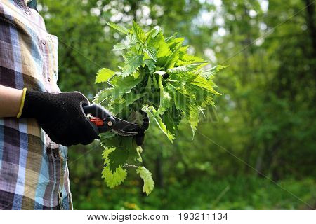Herbs nettle. A woman collects nettles in the woods.