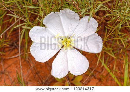White Evening Primrose in the Desert near Sedona Arizona