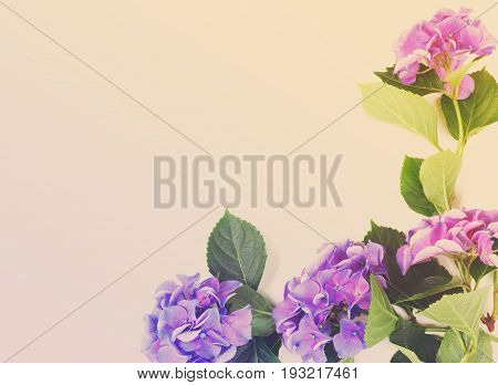 blue and violet hortensia flowers on white with copy space, retro toned