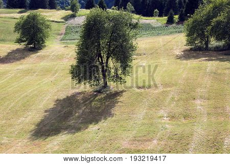 Cherry Tree In The Middle Of The Meadow