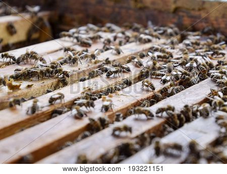 Open Bee Hive. Plank With Honeycomb In The Hive. The Bees Crawl Along The Hive. Honey Bee.