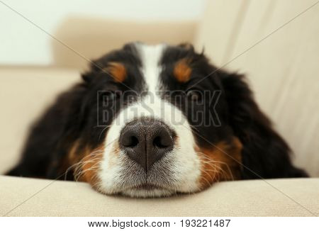Cute funny dog lying on sofa at home, closeup