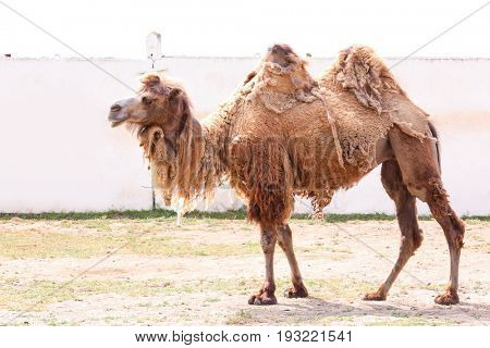 Two-humped camel in zoological garden