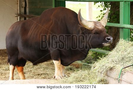 Big Asian buffalo eating hay in zoological garden