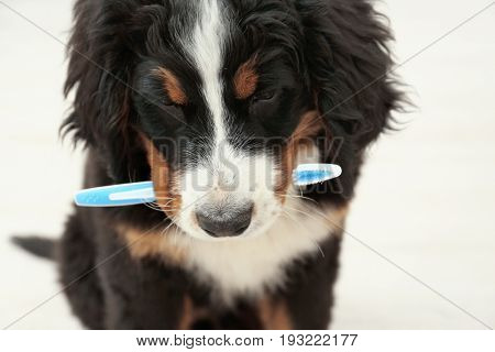 Cute funny dog with toothbrush at home, closeup. Concept of animal teeth cleaning