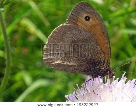 Meadow brown butterfly (Maniola jurtina) feeding on flower of field scabious (Knautia arvensis). Shows the underside of the wings with a background of green leaves.