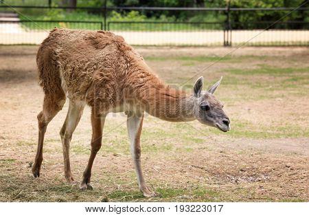 Cute funny lama in zoological garden