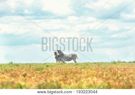 Zebras in wildlife sanctuary on summer day