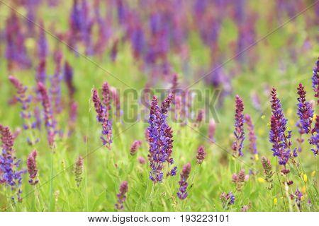 Blooming purple sage in steppe, closeup