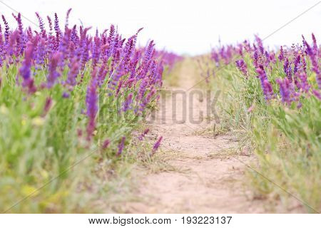 Path in steppe with blooming purple sage, closeup