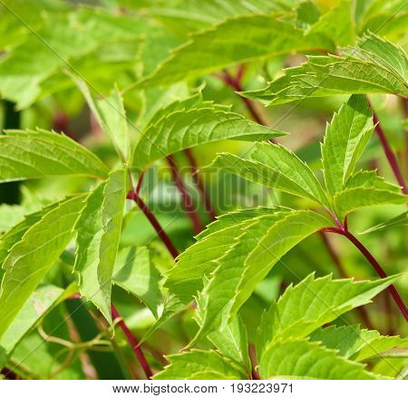 Background of jagged green leaves with colorful red stems with selective focus and pace for text.