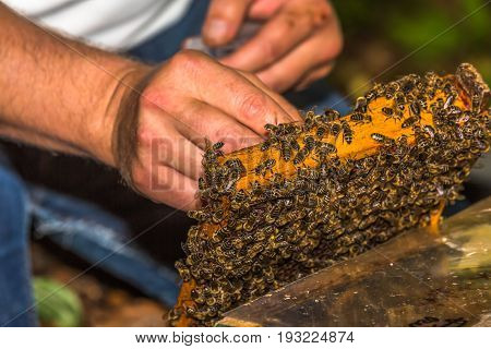 beekeeper catches bee queen for tagging on honeycomb removed from the hive