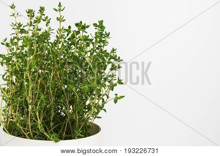 Fresh thyme herb grow in vase. Fresh organic flavoring thyme plants growing. Nature healthy flavoring thyme cooking. Ingredients for food on white background