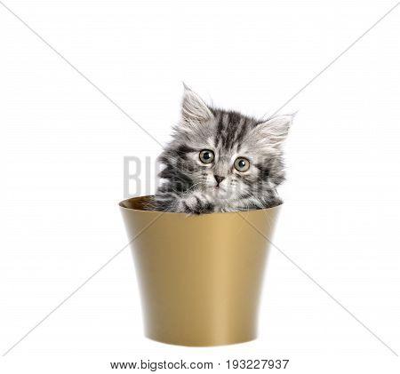Beautiful gray kitten sitting in flower pot, on a white background