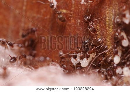 Crod of wood ants, with high magnification, carrying their eggs to anew home, this ant is often a pest in houses, in a wooden background.