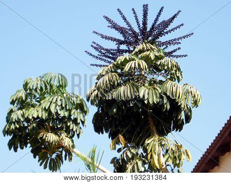 Schefflera actinophylla tree in Or Yehuda Israel