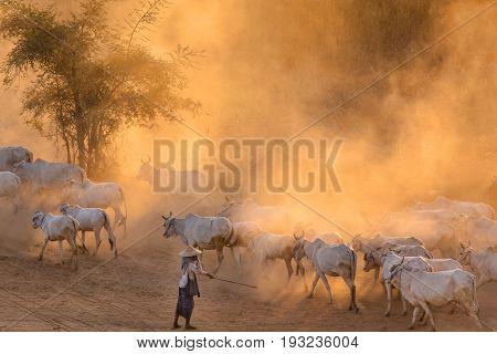 Burmese shepherdess leading her cow herd in dust at sunset, Bagan, Myanmar