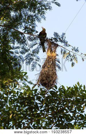Amazon weaver bird and its nest at Tambopata Reserve, Peru