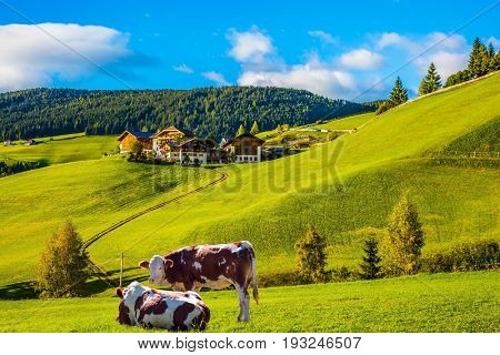 Charming rural landscape in the Dolomites. Magnificent summer sunset in Tirol. Sleek cows graze in the grass. The concept of eco-tourism