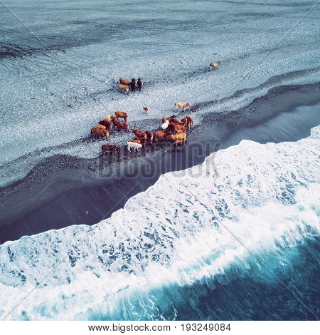 Herd of cows on the beach. Aerial view. Taiwan 2017