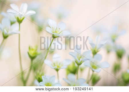 Small white flowers on a delicate pink background. artistic image of flowers saxifrage. Selective soft focus.