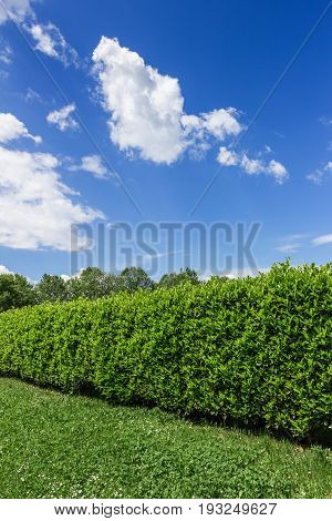 Garden hedge on clear blue sky and white clouds