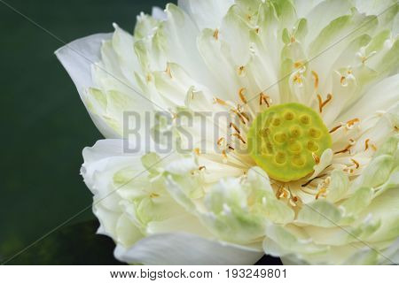 Close up of white water lily on plant